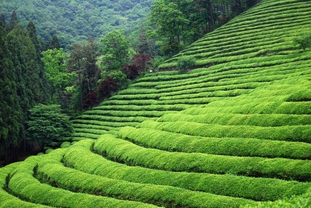 plantación de té en china