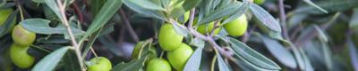 olivo para la tensión